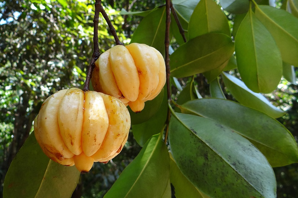 Quel est le dosage correct pour maigrir avec Garcinia Cambogia ?